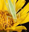 Tree cricket - Oecanthus quadripunctatus