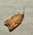 Acleris foliana  - Acleris foliana