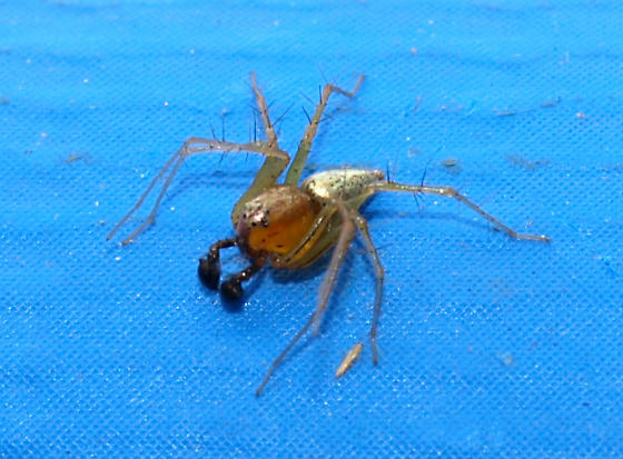 Cute spider with pinchers - Oxyopes salticus