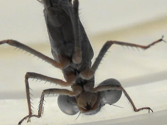 Damselfly Body Scan (ventral head & thorax) - Enallagma civile - male