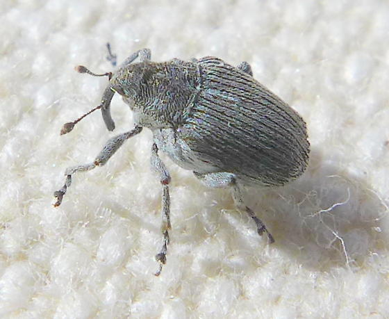 Small Gray Bug