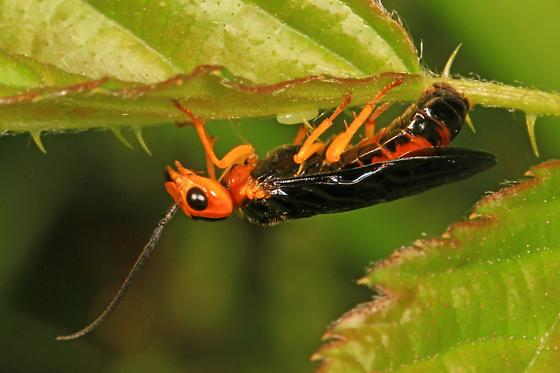 Sawfly - Onycholyda amplecta? - Onycholyda amplecta