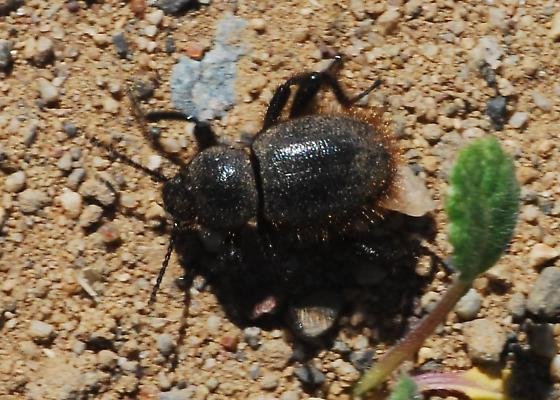 Fuzzy butted beetle - Eleodes osculans
