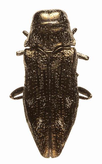 ND Buprestid - Taphrocerus chevrolati