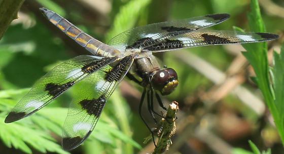 Twelve-spotted Skimmer - Libellula pulchella - male