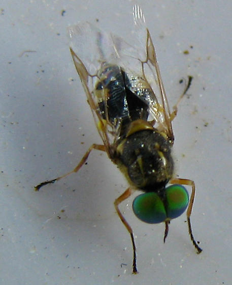 Soldier Fly in California - Euparyphus cinctus