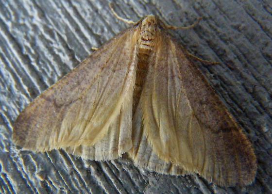 Moth - Erannis tiliaria