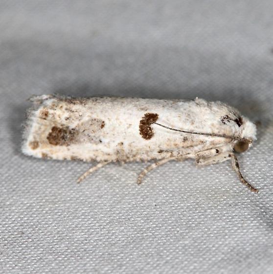 moth - Pelochrista graziella