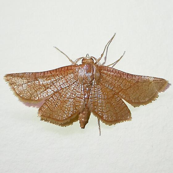 Hexeris enhydris - male