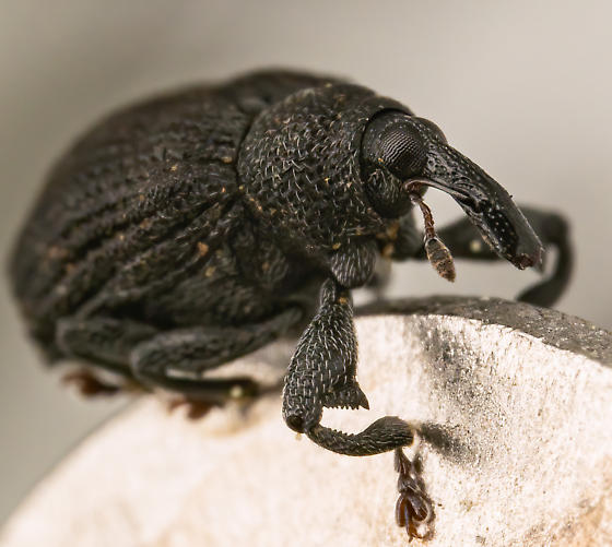 Yellow Poplar Weevil? - Odontopus calceatus
