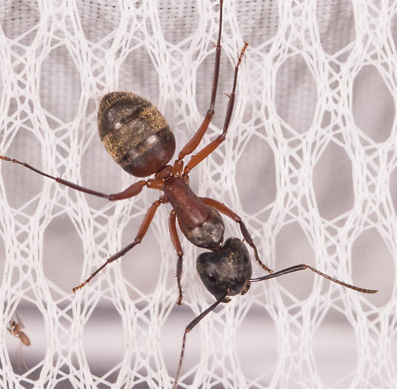 Ant for ID - Camponotus chromaiodes