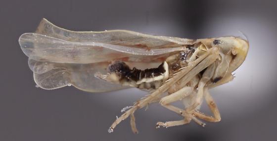 Cicadellidae 1