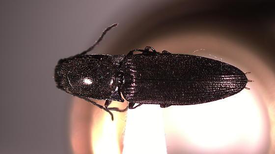 Corymbitodes pygmaeus
