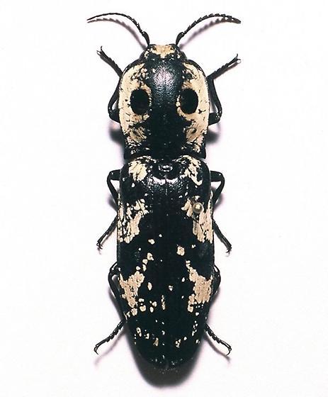 Eyed Click Beetle - Alaus zunianus