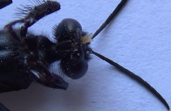 Thread-waisted Wasp Body Scan (ventral head) - Sphex lucae - female