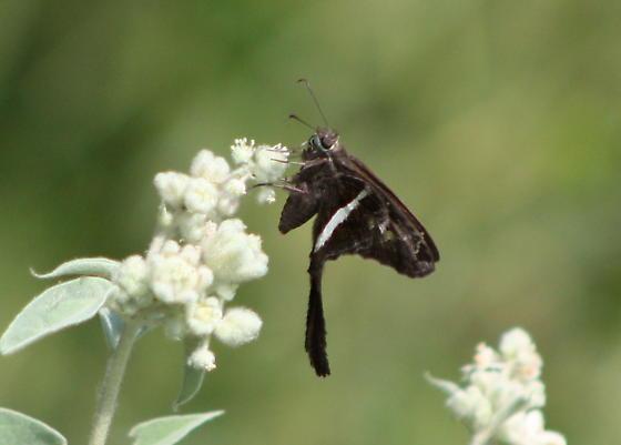 Chioides albofasciatus? - Chioides albofasciatus