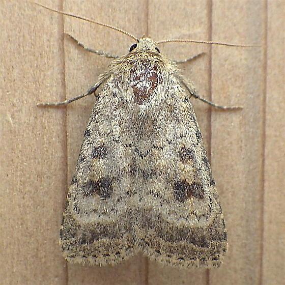 Noctuidae: Caradrina morpheus - Caradrina morpheus
