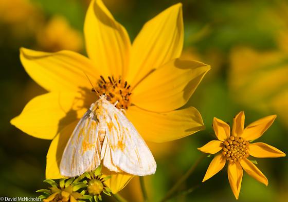 Goldenrod Stowaway - Cirrhophanus triangulifer