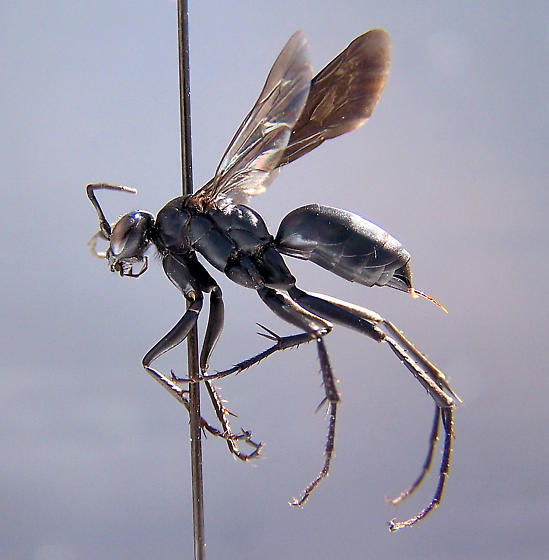 Arachnospila arcta - female