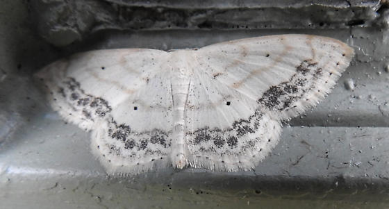 7159 – Scopula limboundata – Large Lace-border - Scopula limboundata