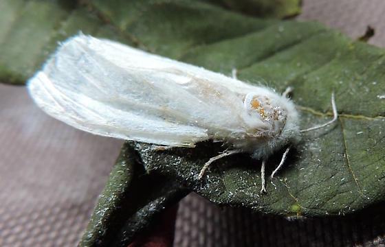 Fall Webworm - Hyphantria cunea - Hyphantria cunea - female