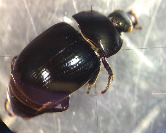 Nitidulidae? - Sphaerites politus