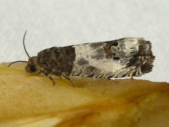 Doubleday's Notocelia - Notocelia rosaecolana