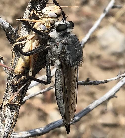 an assassin fly