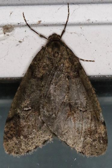 Unk Moth - Paleacrita merriccata