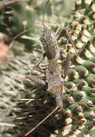 Cactus Bug - Narnia femorata - male - female