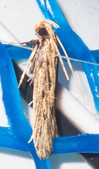 Streaky gelechioid - Spinitibia hodgesi