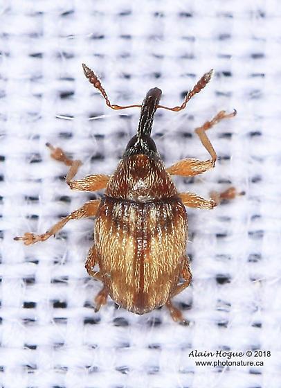 Microon canadense ? - Nanophyes marmoratus