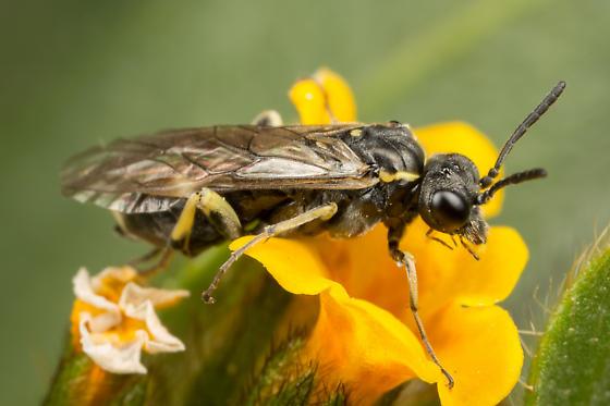 Filacus - Filacus pluricinctellus - male