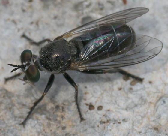 Black Fly - Atomosia melanopogon