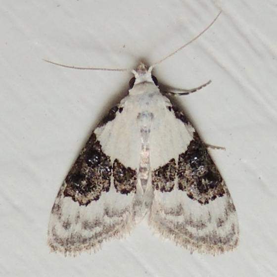 Sharp-blotched Nola Moth - Hodges#8989 for LA - Nola pustulata