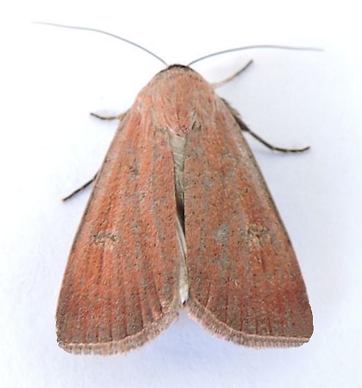 Arizona Moth - Anicla biformata