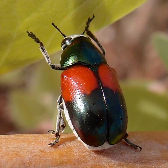 leaf beetle - Megalostomis pyropyga