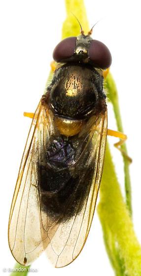 Cheilosia pallipes - female