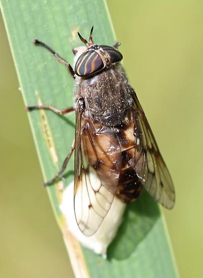 Hybomitra lasiophthalma - female