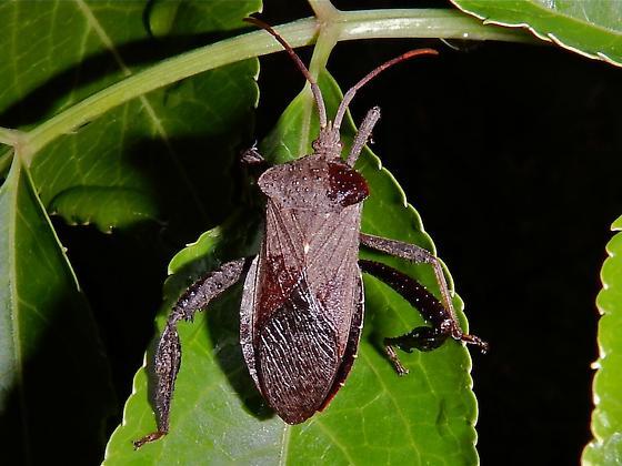 Coreidae - Acanthocephala