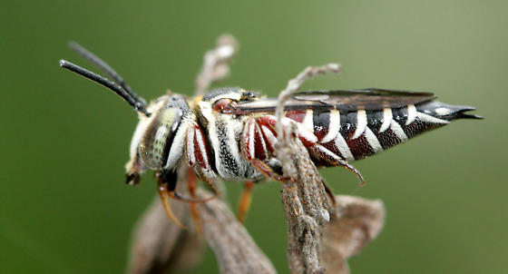 Bright Cuckoo Leafcutter - Coelioxys slossoni - female