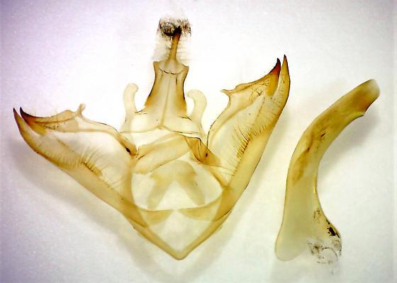 Halysidota harrisii - Sycamore Tussock Moth - Hodges#8204 - Halysidota harrisii - male