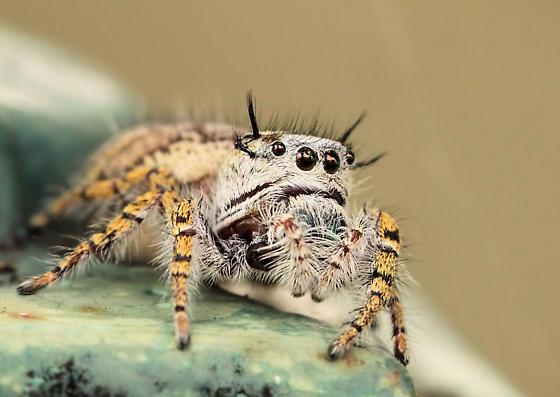 brown eyes - Phidippus mystaceus