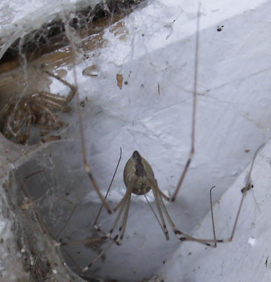 And Another Night Spider - Holocnemus pluchei