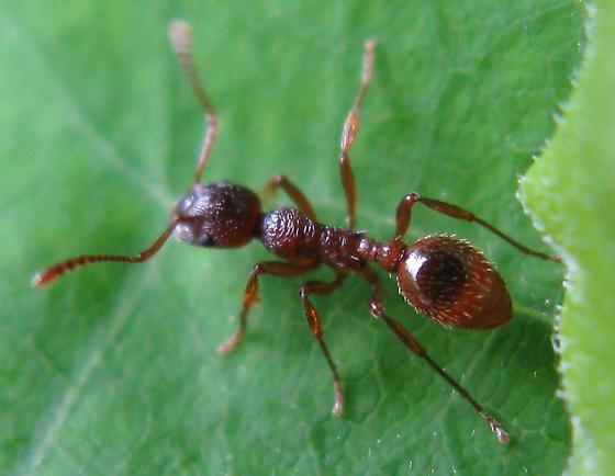 European fire ant - Myrmica rubra