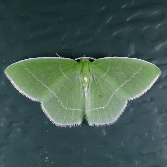 White-fringed Emerald - Nemoria mimosaria