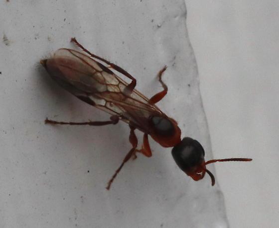 Pseudomyrmex gracilis? - Pseudomyrmex gracilis