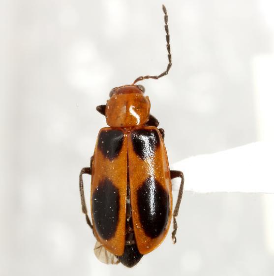 Malacorhinus acaciae (Schaeffer) - Malacorhinus acaciae