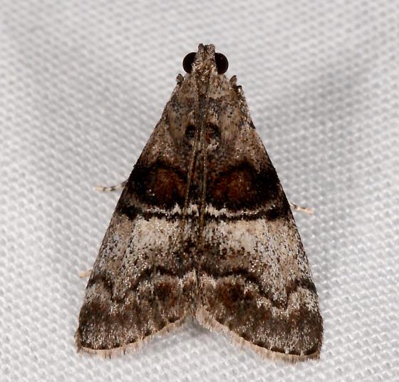 Pococera - Pococera asperatella