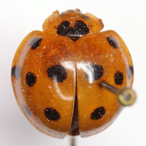 Epilachna tredecimnotata (Latreille)  - Harmonia dimidiata
